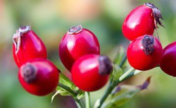 Dzika róża – cenne źródło witaminy C