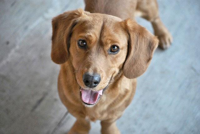 Jak nauczyć psa zostawania samemu w domu?